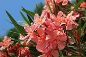 Closeup Of Blooming Oleander