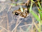 Frog Hide In Water