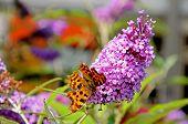 Comma butterfly on buddleja.