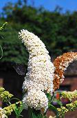 White Buddleja flower.