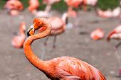 The Pink Caribbean Flamingo ( Phoenicopterus Ruber Ruber ) Goes On Water. Pink Flamingo Goes On A Sw
