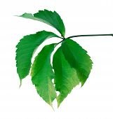Постер, плакат: Green Leaf virginia Creeper Leaf