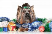 Yorkshire Terrier In Christmas Garlands