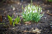 Snowdrop Flowers Blooming