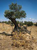 Olive Tree, Noves, Castilla La Mancha, Spain