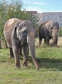 Two elephants walking in a meadow near the house