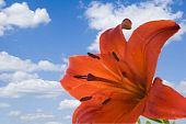 Lily On Blue Sky Macro