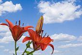 Lily On Sky