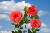Rose On Blue Sky