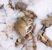 Frozen Wood Mouse In Winter Closeup