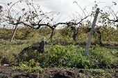 old vineyard
