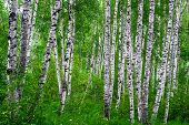 picture of birchwood  - Beautiful birch grove on the banks of the river in the Russian Siberia