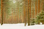 Cross Country Skiing Path In The Forest