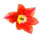 Red Tulip On A White Background, Macro