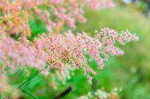 Pink Flower Of Grass