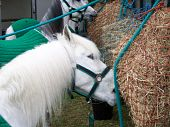 White Shire Horse Head