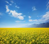 Field of rapeseed against sky