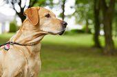 Labrador Retriever with dog tag in a garden