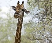 portrait a wild giraffe in the bush, Kruger, South Africa