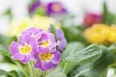 image of primrose  - Beautiful - JPG