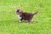 Kitten On The Green Lawn