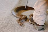 Common Death Adder At Snake Show