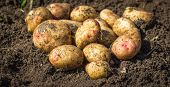 Fresh organic potatoes on the ground