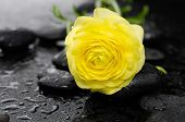 Yellow Ranunculus and stones on pebbles