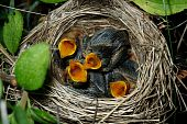 stock photo of bird-nest  - Nest of a Marsh Warbler  - JPG