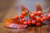 Wet Fruit And Leaves Of A Mountain Ash (rowan) On A Wooden Table. Blur. Very Soft Focus!