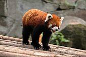 Red panda in alert pose