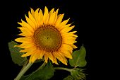 Sunflower, Helianthus Annuus