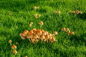 Mushrooms On A Lawn