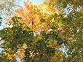 Autumn Tints Of Acer Platanoides