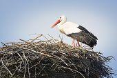 Stork In Nest