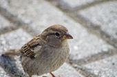 European Sparrow Or Passer Domesticus