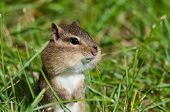 stock photo of chipmunks  - Eastern Chipmunk gathering food in the fall - JPG