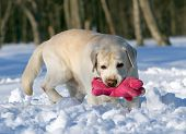 Yellow Labrador In Winter With A Pink Toy Portrait