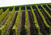 Regulars Rows In A Tuscan Wineyard
