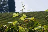 Isolated Wineyard Leafs