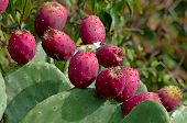 stock photo of spiky plants  - Red and ripe prickly pear on the plant of Opuntia Ficus Indica