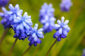 picture of early spring  - Many Grape Hyacinth or Muscari Latifolium botryoides flower bulbs blooming blue in the early spring seaso - JPG