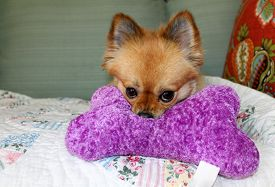 foto of toy dogs  - A beautiful pure breed Pomeranian Dog Smiles and plays with her favorite Squeaky toy - JPG
