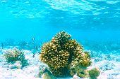 pic of coral reefs  - Coral reef at South Ari Atoll - JPG