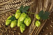 stock photo of hop-plant  - hop cones and barley  - JPG