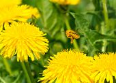 picture of pollen  - Pollen covered bee flying away from one dandelion to another - JPG