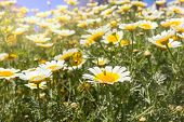 stock photo of chamomile  - Large field of white chamomile in the sunlight - JPG