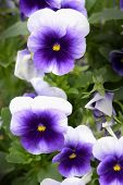 foto of viola  - A cluster of small blooming cold hardy viola in a garden.