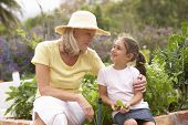 stock photo of grandmother  - Grandmother And Granddaughter Working In Vegetable Garden - JPG