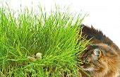 picture of quail egg  - Curious cat and quail eggs in a nest - JPG